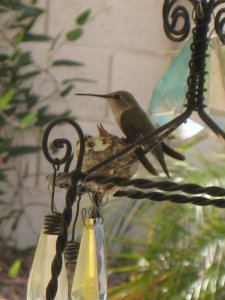 Two New Hummingbirds Have Arrived