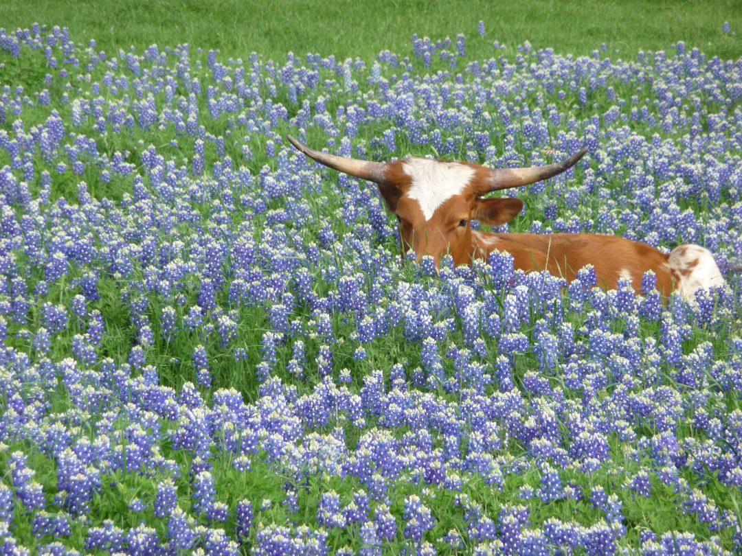 cow in bluebonnets