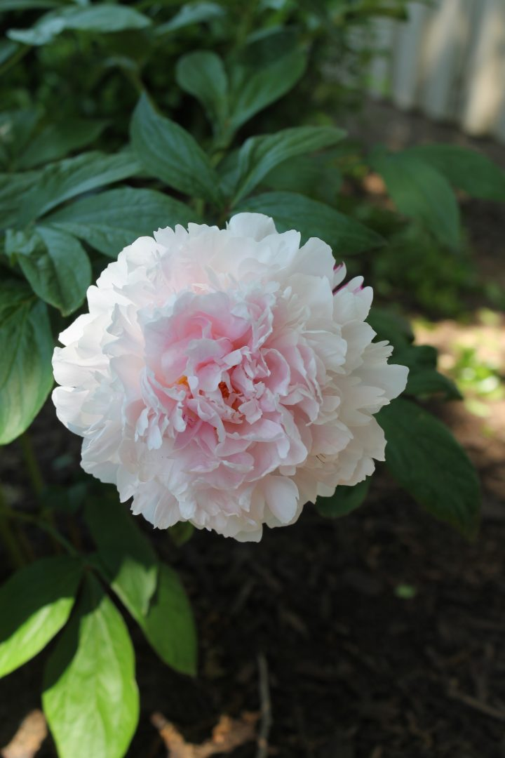 You Can Grow Peonies in Texas - Decor to Adore